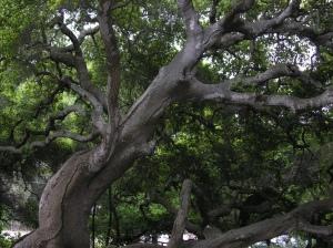 oaks01