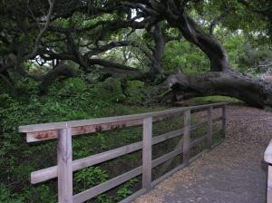 oaks02