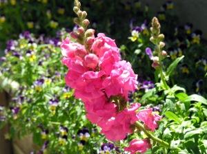 pinkcolony