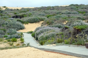 Through sand dunes, toward Pacific ocean's endless expanse