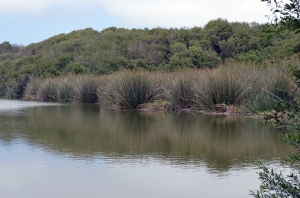 Tule reeds going green, a promise of coming summer.