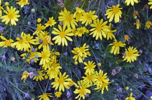 yellowdaisies1500